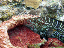 Grouper at a cleaning station Royalty Free Stock Photography