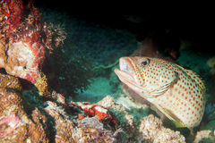 A grouper close up portrait Stock Photo