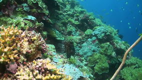 Grouper on a coral reef. Grouper on a colorful coral reef stock video footage