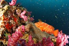 Grouper cruising on the reef - Andaman Sea Royalty Free Stock Image