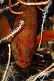 Grouper fish stock photos