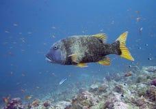 Grouper fish. Diving on Indian ocean. Maldives Stock Photos