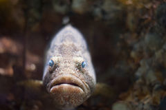 Grouper fish Royalty Free Stock Photography