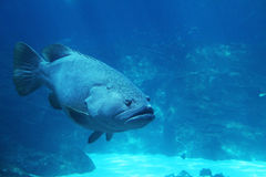 Grouper Fish with copy space. Royalty Free Stock Photos