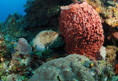 Grouper fish and coral reef. Underwater view of grouper fish swimming in tropical reef with barrel sponge in foreground Stock Photo