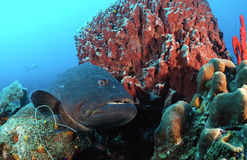 Grouper fish in coral reef Royalty Free Stock Photos