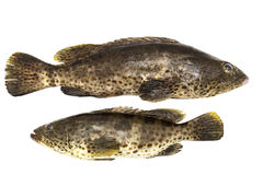 Grouper fish isolate on white background. Grouper fish isolate on white background Royalty Free Stock Photography