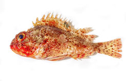 Grouper fish isolated on white Stock Images