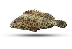 Grouper fish isolated on white background. stock photography