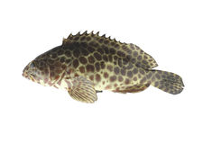 Grouper fish isolated on white background. Royalty Free Stock Images
