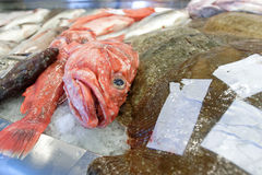 Grouper at fish market Royalty Free Stock Images