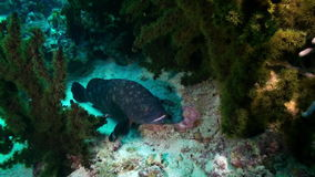 Grouper fish on sandy bottom in search of food. stock video