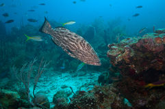 Grouper fish swimming. Picture of a big grouper fish swimming in the reef. Picture took in the caribbean, roatan, honduras stock images