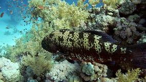 Grouper fish swimming in the water. Red sea stock video