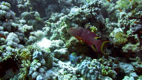 Grouper fish swimming in the water. Red Sea Egypt stock footage