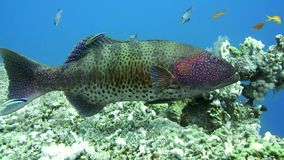 Grouper fish swimming in the water. Red Sea Egypt stock video footage