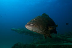 Grouper Fish on Wreck Royalty Free Stock Photos