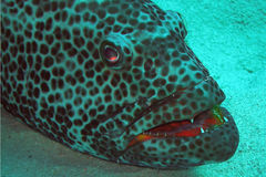 Grouper gives us the evil eye!. A grouper gives us the evil eye and bears its teeth to show its brightly coloured mouth Royalty Free Stock Images