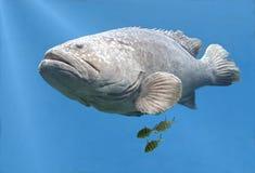 Grouper Goliath κολύμβηση ψαριών Στοκ Φωτογραφία