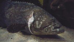 Grouper Goliath απόθεμα βίντεο