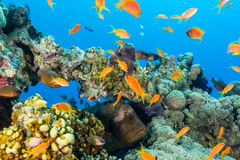 A Grouper hides amongst the fish on a coral pinnacle. Large black grouper surrounded by Anthias on a coral reef stock photography