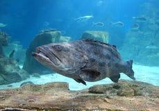 The Grouper in Istanbul Sea Life Aquarium (TurkuaZoo). Royalty Free Stock Photos