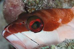 Grouper portrait - Red Sea royalty free stock photography