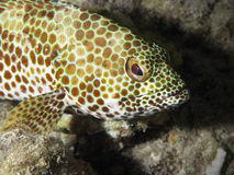 grouper portret obrazy royalty free