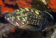 Grouper. Poses for photos in the sea Royalty Free Stock Photo