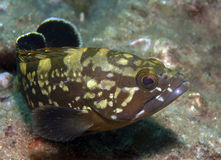 Grouper5. Grouper poses for photos in the sea Stock Image