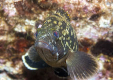 Grouper8 Stock Photography