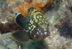 Grouper6 Royalty Free Stock Image