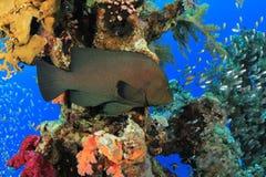 grouper redmouth Obraz Royalty Free