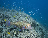 Grouper on reef. A colorful grouper swimming over a coral reef near Heron Island Stock Photo