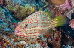 Grouper on a reef Stock Photo