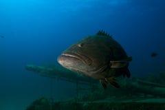 Grouper ryba na wraku Zdjęcia Royalty Free