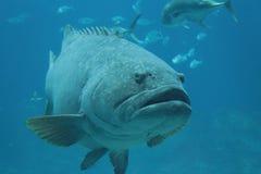 Grouper ryba w akwarium zdjęcia royalty free