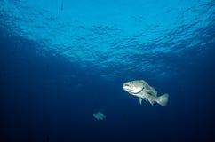 Grouper, Sea of cortez. Royalty Free Stock Photo