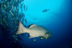 Grouper, Sea of cortez. Stock Images