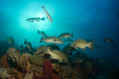 Grouper, Sea of cortez. royalty free stock photo