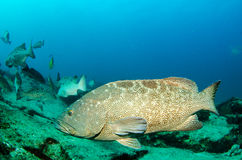 Grouper, Sea of cortez. Stock Photo