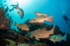 Grouper, Sea of cortez. Stock Photos
