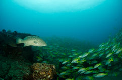 Grouper, Sea of cortez. Stock Photos
