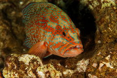 Grouper  - Similan islands, Thailand, 2011 Stock Photography