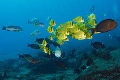 Grouper sweetlips school of fish underwater Royalty Free Stock Photo
