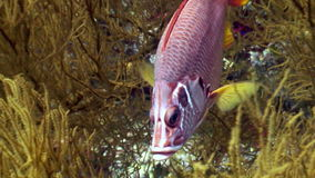 Grouper underwater in search of food in Red sea. Swimming in world of colorful beautiful wildlife of reefs and algae. Abyssal diving stock footage