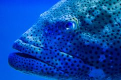 Grouper up close. A close up of a giant grouper`s head Royalty Free Stock Images