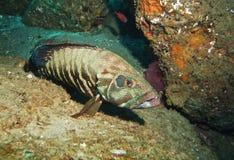 Grouper w jamie Zdjęcia Stock