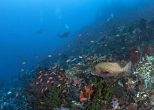 Grouper watches divers drift down current. Stock Photography