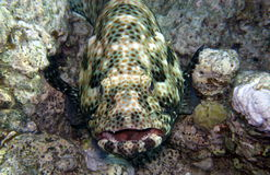 Grouper What Nice Teeth You Have Royalty Free Stock Photos